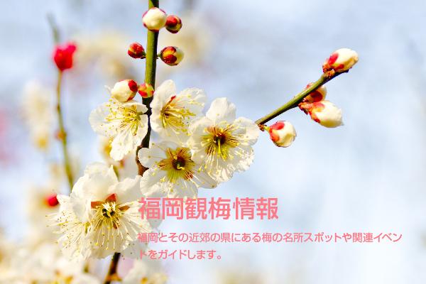 福岡観梅情報