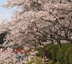 甘木公園の花見