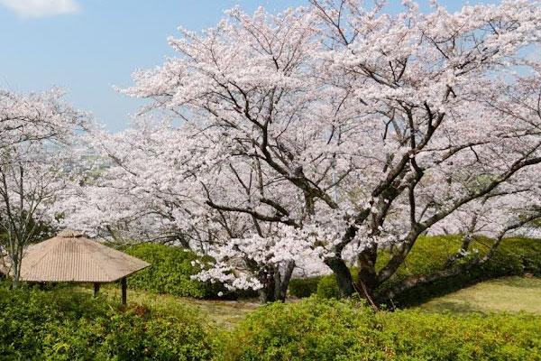 発心公園の桜