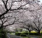海の中道海浜公園の桜