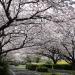 「海の中道海浜公園」桜のトンネルの下をサイクリング!