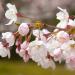 秋月杉の馬場の桜「秋月春まつり」が開催されます。